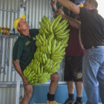 TO Banana Growers Mag - 10.07.2015 Banana Farmers check their produce into the Innisfail Show - 08.07.2015 - Please Credit ©pic by Brian Cassey Grahame Celledoni (left)