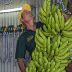 TO Banana Growers Mag - 10.07.2015 Banana Farmers check their produce into the Innisfail Show - 08.07.2015 - Please Credit ©pic by Brian Cassey Grahame Celledoni