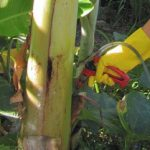 Injecting a Glyphosate solution into a Bunchy Top-infested banana plant.