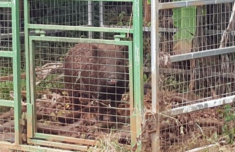 Feral pigs pic 6 - pis in cage