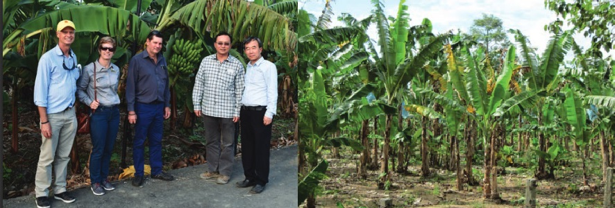 On the left: the study group which visited the Philippines and Taiwan. On the right:  TR4 affected plants in The Philippines