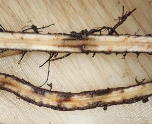 Root damage caused by the banana spiral nematode.