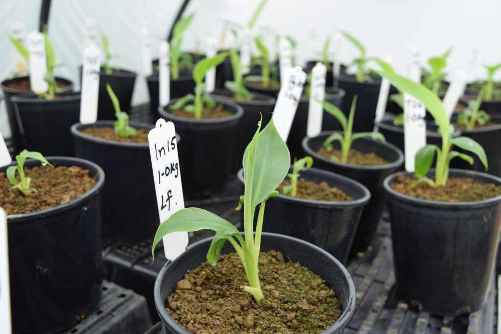 Tissue cultured banana plants are planted directly into banana field soils to determine the differences soils make to the banana microbiome.
