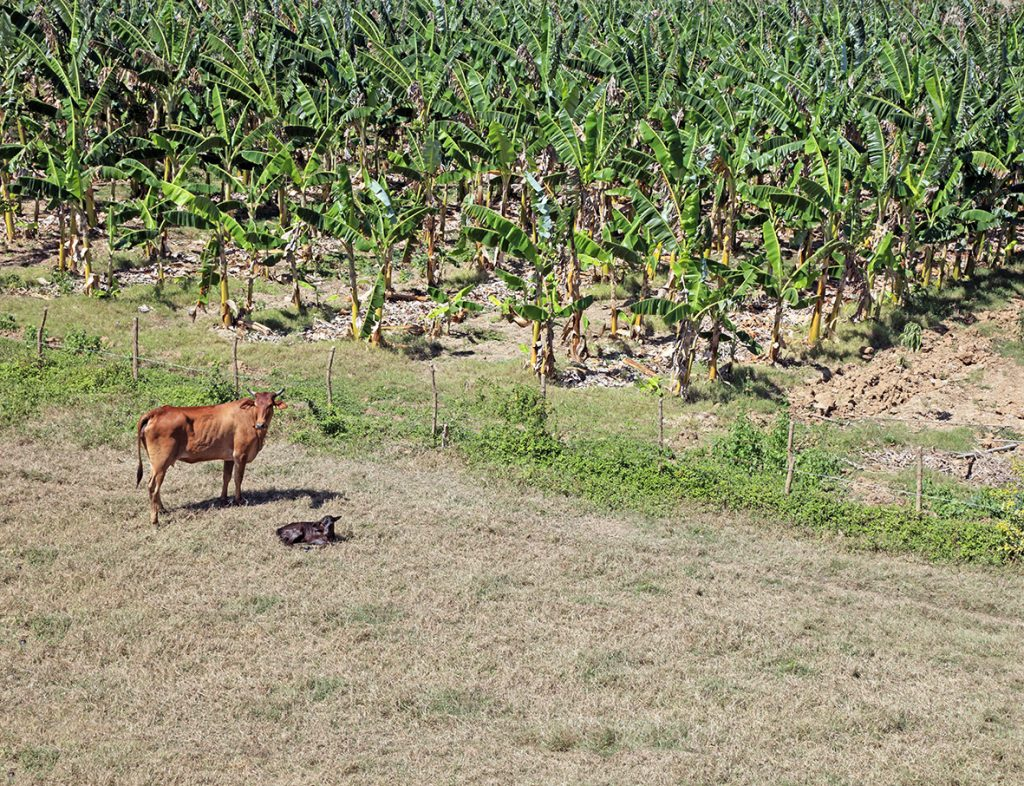Alternative farming options are available for growers on Panama TR4 affected land.