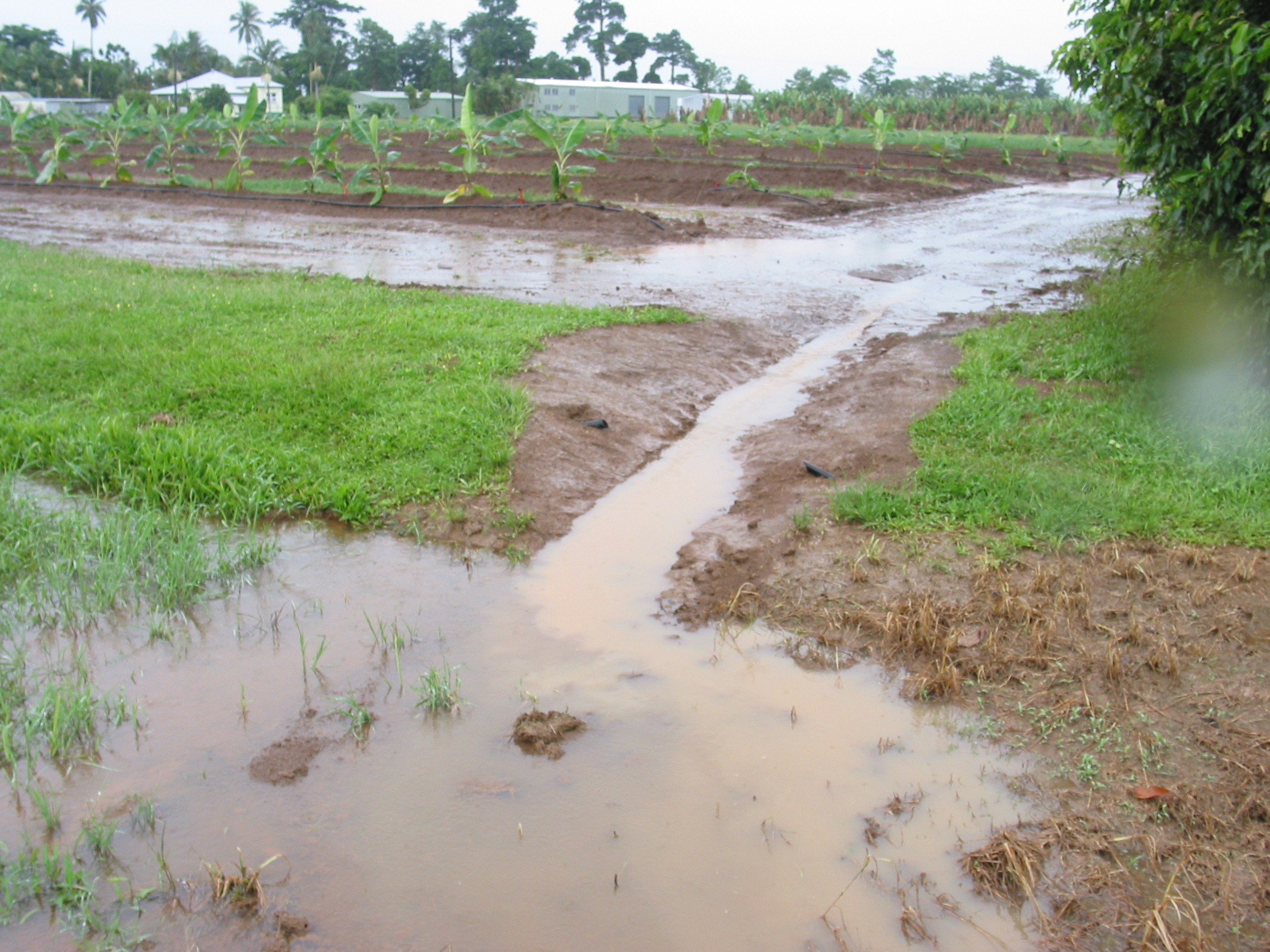 Dirty water leaving bananas with no ground cover after heavy rainfall and mixing with cleaner water from an area with grassed ground cover.
