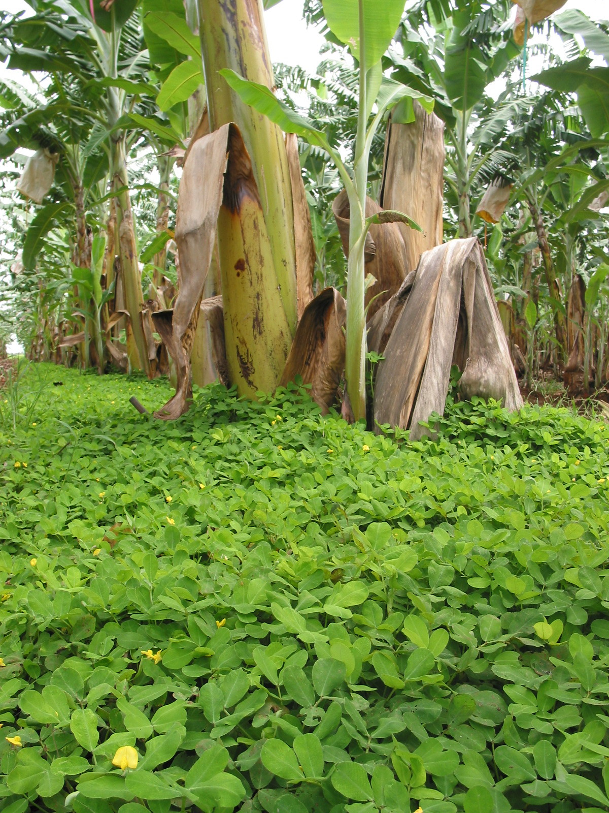 Pinto peanuts used as a living ground cover established on a commercial banana plantation amongst Lady Finger bananas.