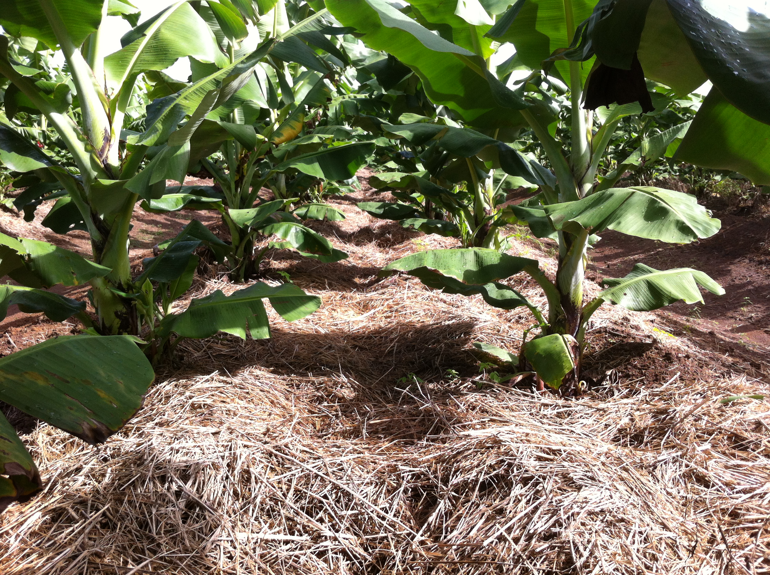 Grass hay mulch spread around banana plants to suppress weeds, reduce the need for herbicides and retain soil moisture.