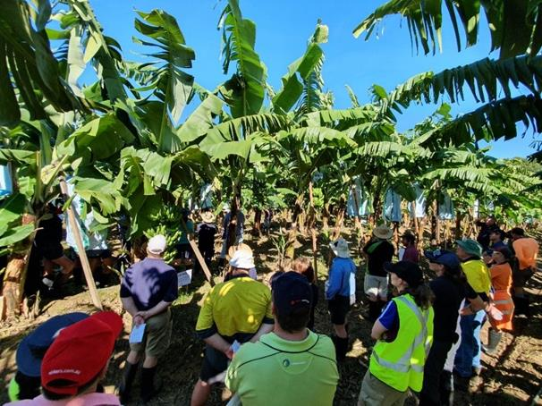 Principal Horticulturalist Jeff Daniells takes participants through the field walk, answering many questions including the origin, agronomic observations and disease resistance of varieties currently being trialled at the South Johnstone site.