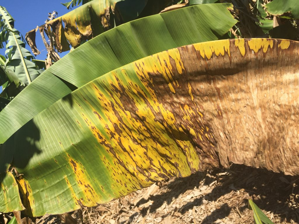 Leaf spot symptoms in a plantation where de-leafing has not occurred.