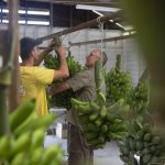 Ethan McKeever and Wayne Shoobridge help to hang the bunches.