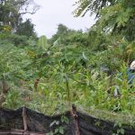 Traditional small holder farm in Laos growing a mix of crops with bananas in the background.