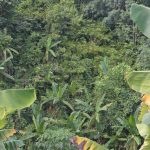 Wild bananas growing in the background, next to a Cavendish banana plantation infected with TR4 and showing leaf yellowing in the foreground.